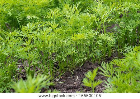 green tops of carrots in summer in garden