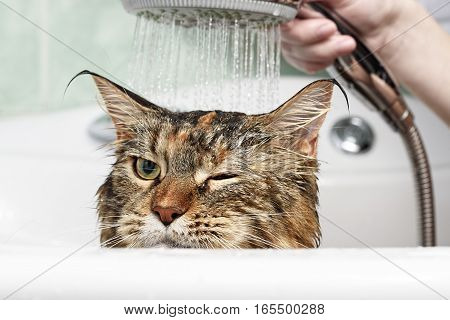 Funny cat. Wet cat. Girl bathe a cat
