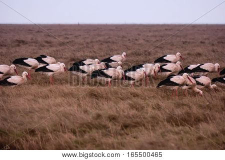 Storks In The Thurm Cap Of St. Peter-ording In Germany