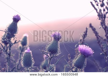 Burdock flower with drops of water and spiderweb