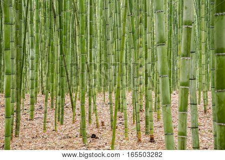 Bamboo nature forest in Arashiyama Kyoto Japan
