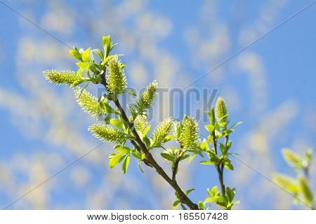 Willow branches with blossom buds in spring closeup