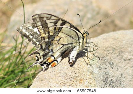 Colorful Swallowtail butterfly under pressure of wind in Mt. Goverla