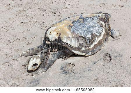 Dead sea turtle body on sand beach