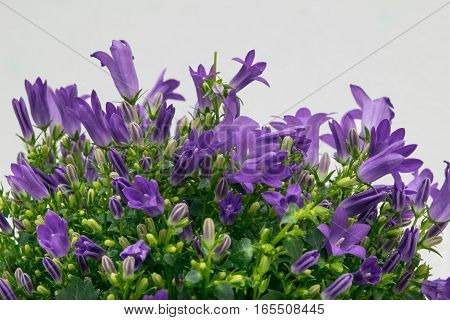 liliac campanula flowers between green leaves at the white background