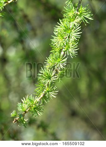 Green larch branch in summer forest closeup