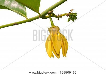 ylang ylang flower isolated on white background