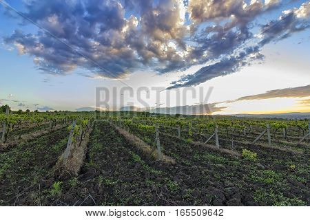 Summer scene of beautiful green vineyard with exciting sky