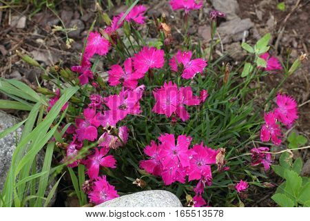 Perennial mountain red-pink carnation. Garden in countryside