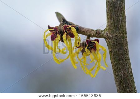 witch hazel (hamamelis mollis) branch with yellow flowers Natural medicine plant against a blurry blue background with copy space macro shot selective focus narrow depth of field