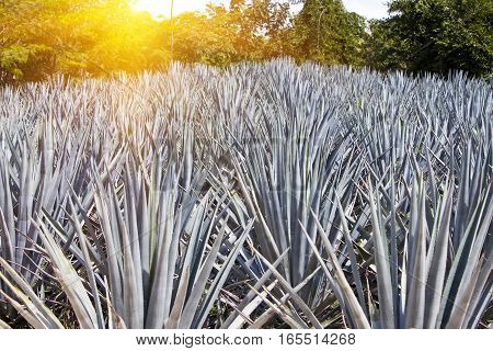 Agave in a sunny day . Mexico.