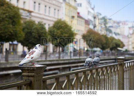 Karlovy Vary (Carlsbad) Pigeons on a handrail. Tepla river. Czech Republic.
