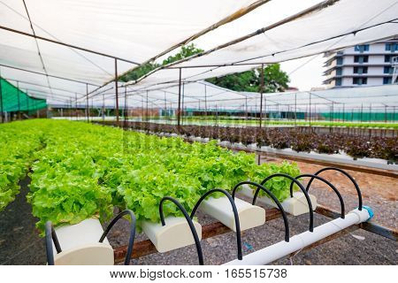 Green oak and red oak frillice iceberg cultivation hydroponic green vegetable in farm plant market