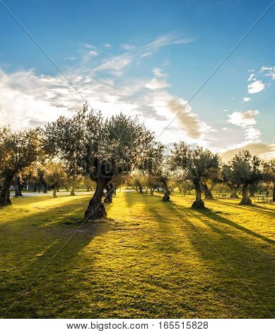 Panoramic view of sunset behind grass field and olive trees