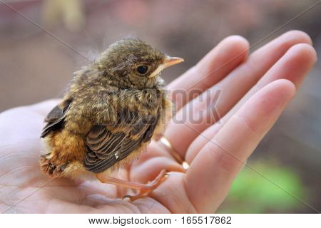 Little chick robin redbreast sitting on a palm