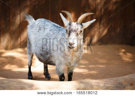 Grey Goat Close-up At The Farm