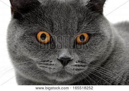 Portrait of a gray cat with yellow eyes. horizontal photo.