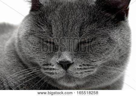 Portrait of gray cat sleeping. horizontal photo.