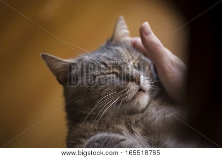 Furry tabby cat lying on its owner's lap enjoying being cuddled and purring. Focus on the cat's nose selective focus