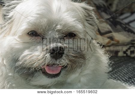 Smiling Dog Lying On The Sofa Of The House