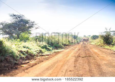 Zebras Crossing An African Dirt, Red Road Through Savanna, Kenya