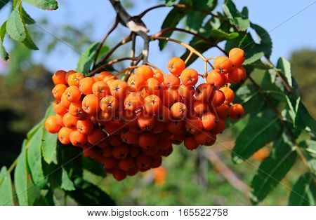 red berries of rowan on a blue sky background