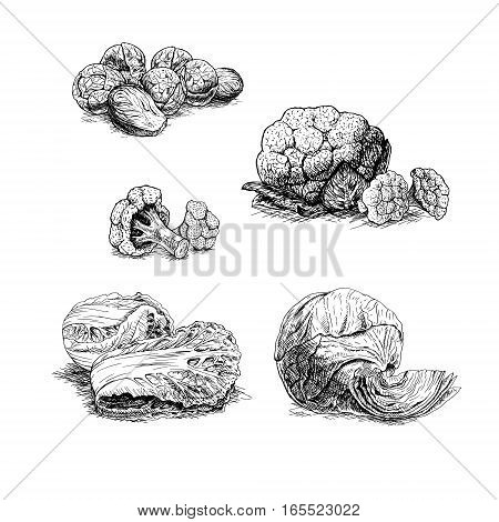 Hand drawn set of types of cabbage. Retro sketches isolated. Vintage collection. Linear graphic design. Black and white image of vegetables. Vector illustration.