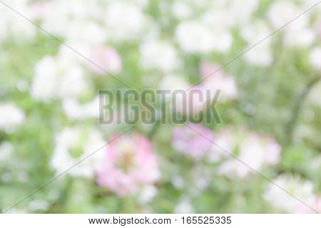 Blurred photo of white spider flower (Cleome Spinosa) in the garden abstract natural background.