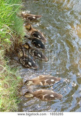 Ducklings In Feeding Frenzy