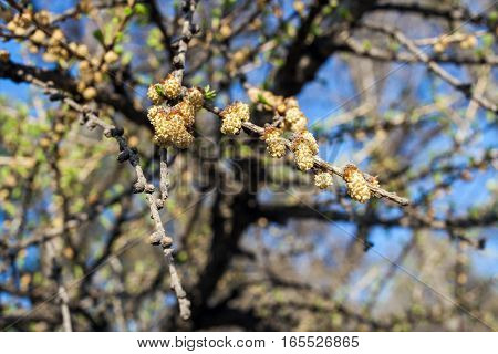 Branchs of larch tree with small cones against the blue spring sky.