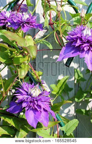 Purple clematis flower on a background of gray wooden fence