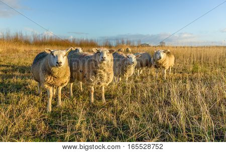 Portrait of some white sheep in winter coat in the late afternoon sunlight of a sunny day in the winter season. The sheep are curiously at the photographer.