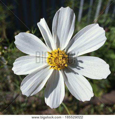 chamomile flower at darjeeling, west bengal India