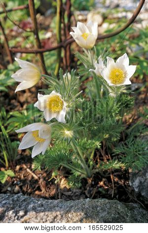 white pasque flower (Pulsatilla vulgaris alba) in garden