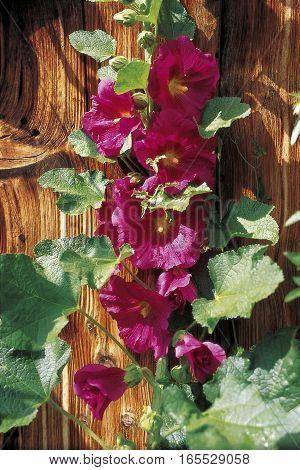 common hollyhock (Alcea rosea) in front of wooden wall