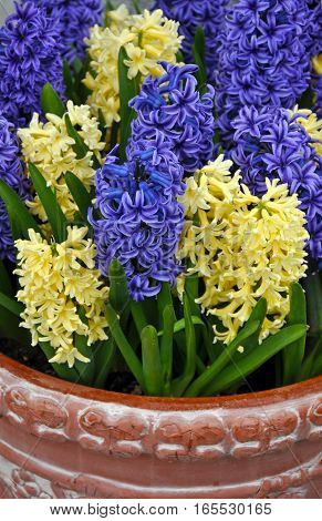 Beautiful purple and yellow spring hyacinth flowers in brown clay planter