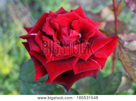 Red selective rose flower. Purple rose bud. Growing red rose in the garden.