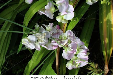 Decorative pea flowers growing in sunny garden. White flowers of pea. White flower border.