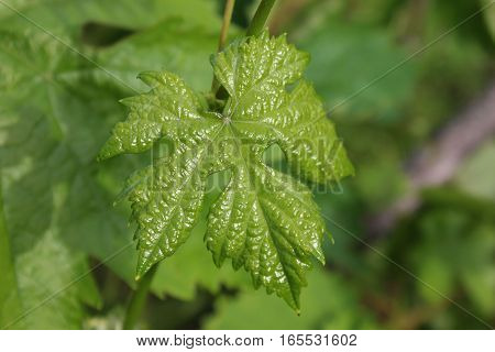 Green healthy grape leaf on the stem. Grape growing. Grape farming.