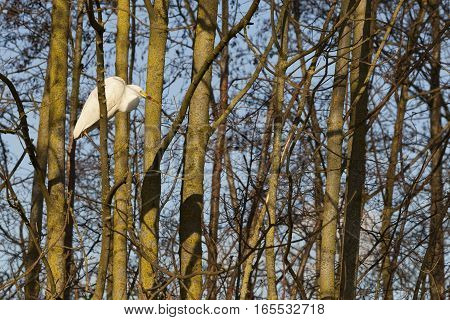 great white egret on branch between trees in warm sunlight