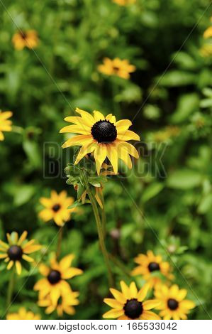 A beautiful  field of Black Eyed Susans.