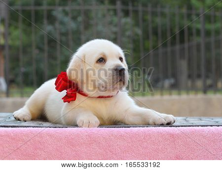 A Little Labrador Puppy On A Pink Background
