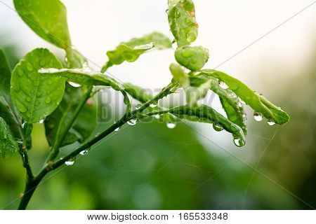 Water droplets on a green leaf after rain