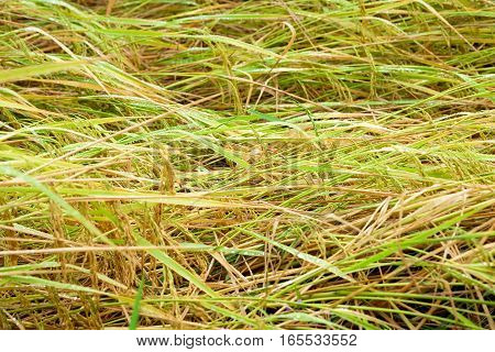 Thailand rice fields Waiting to be harvested Heavy winds blew down across the trunk