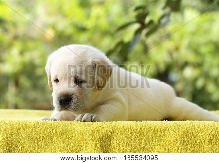 The Little Labrador Puppy On A Yellow Background