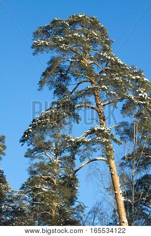 High pine tree with snow on branches under blue cloudless sky in winter vertical view