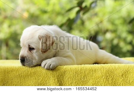 a little yellow labrador puppy laying on a yellow background