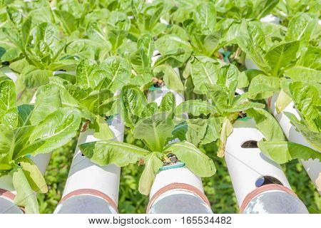 Row of fresh cos salad vegetable in outdoor hydroponic garden farm hydroponics system of growing vegetables using nutrient solutions in water without soil.