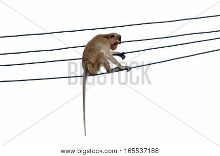 Long-tailed macaque Crab-eating macaque Macaca fascicularis on the power cable