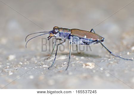 Tiger Beetles Cicindelidae Macro Close up insect